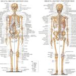 anatómia človeka